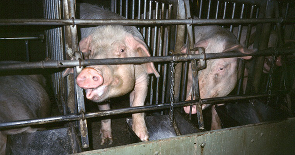 Factory farm - Photo by AWI