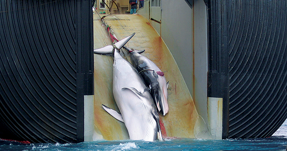 Scientific whaling - Photo by AWI