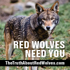 Learn more about red wolves at thetruthaboutredwolves.com