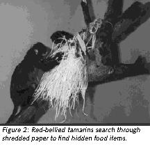 Figure 2: Red-bellied tamarins search through shredded paper to find hidden food items.