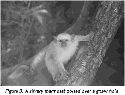 Figure 3: A silvery marmoset poised over a gnaw hole.