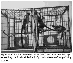 Figure 9: Cotton-top tamarins voluntarily travel to encounter cages where they are in visual (but not physical) contact with neighboring groups.